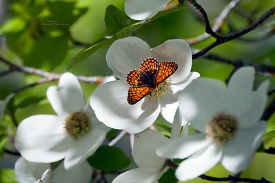 Butterfly Enjoying the Dogwood