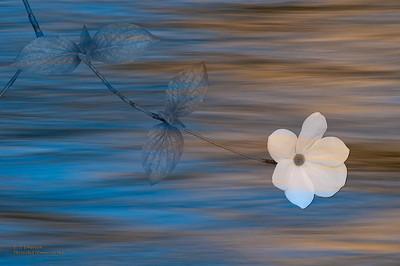 Dogwood Bloom and Merced Reflections
