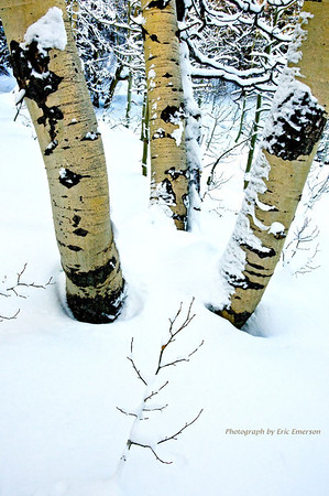 Aspen in Winter near Carson Pass
