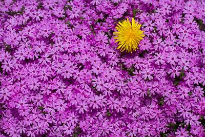 Spring Flowers-Dandelion