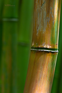 In Haleakala's Bamboo Forest