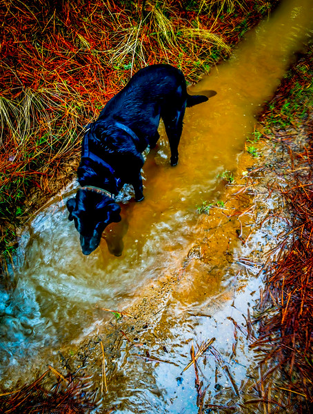 Lobo grabs a drink on a flooded trail, Liberty Lake, Washington