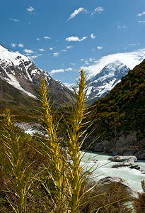 Spainard Plant along Hooker River in Mt. Cook NP