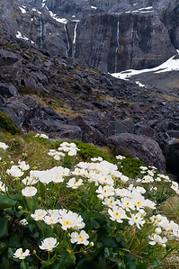 Mt. Cook Lilies