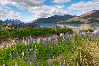 Ohao Lake (NZ) Lupine