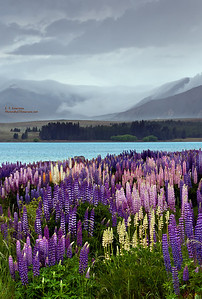 Lake Tekapo (NZ) Lupine and Showers