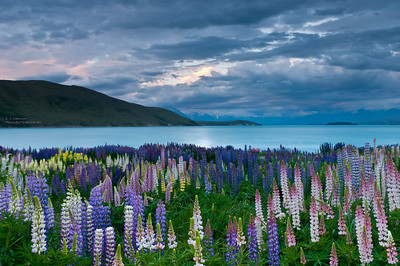 Lake Tekapo (NZ) Lupine at Sunset