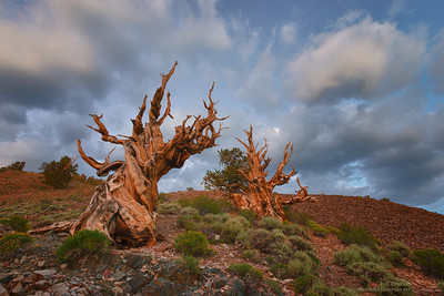 Ancient Bristlecones Shortly After Sunset