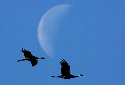Two sandhill cranes fly in front of the moon north of the Platte River Valley Bird Observatory at Crane Meadows. Crane season officially starts today with a variety of tours for the next six weeks at the nature center.