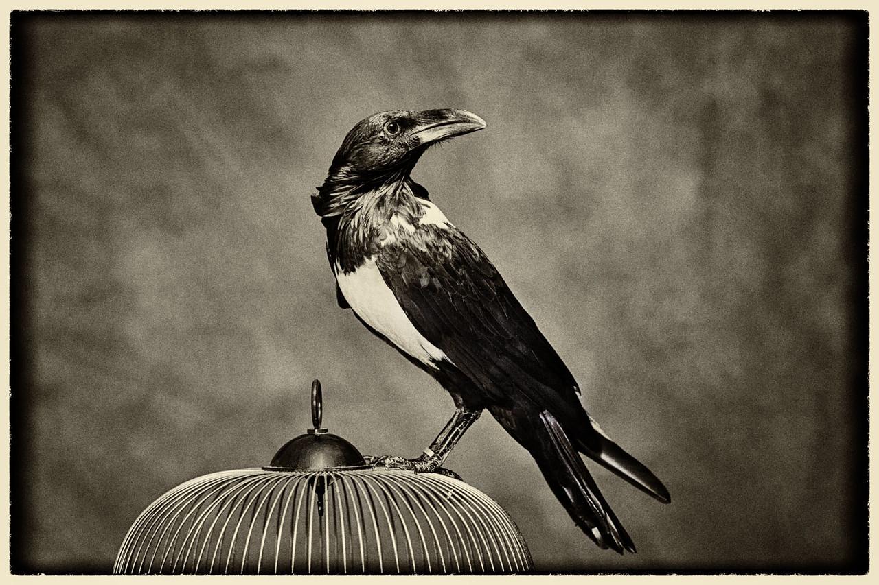Portrait of a Pied Crow