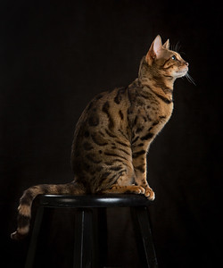 Majestic Bengal Cat