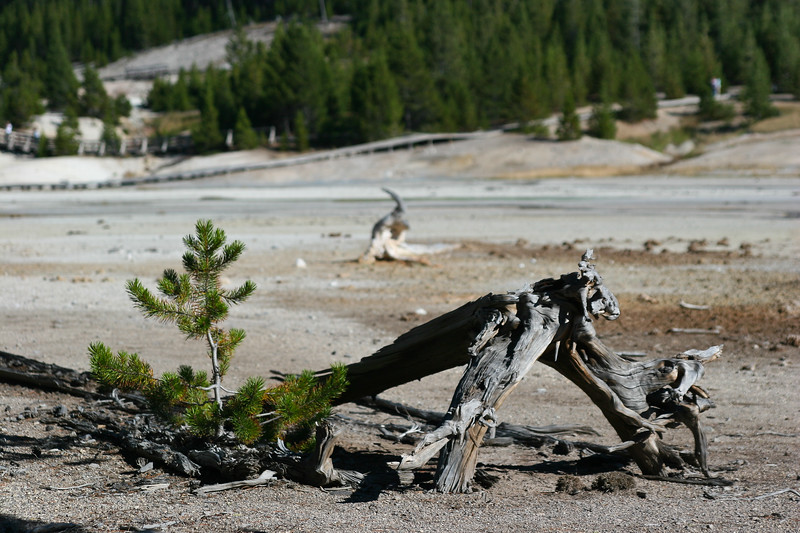 Norris Geyser Basin with Dead tree and new sapling growing through it.