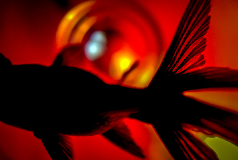 My killer Black Moor Goldfish from back in the seventies. She took a quick break in a wine glass while I was cleaning her bowl… I set the glass on a brightly illuminated red magazine cover and shot downward into the glass capturing her beautiful back lit fin! Black and Red work so well together,  the yellow lighting accents enhance this composition.