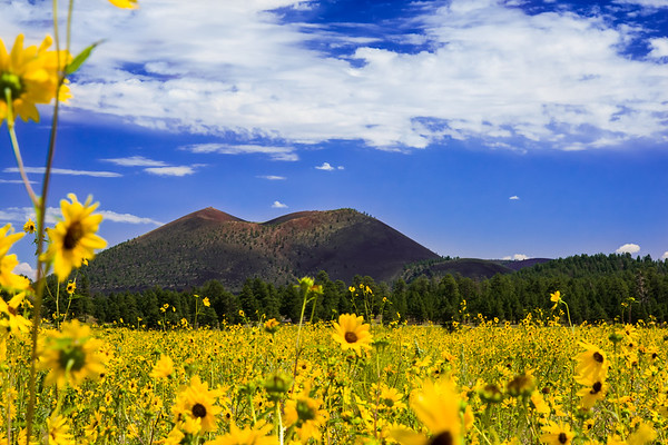Daffodils in front of Crater Mountain Arizona