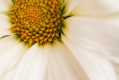 Dafodil-Flowers