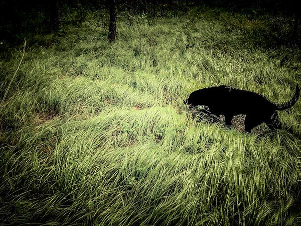 lobo-5947
