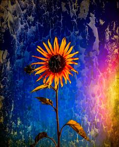 sunflowers-5362