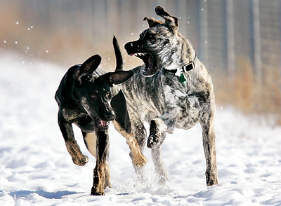 Though it may look more serious at first glance, two dogs owned by Dee Toms of Hastings, Sadie and Rocky (right), play with each other while running free in the 55-acre Hastings Dog Park on Friday. The park, which is just south of Good Samaritan Village, has been open since last Saturday.