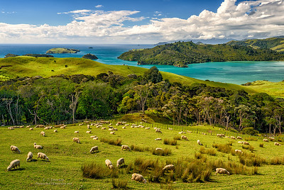 Sheep Grazing on North Island, NZ