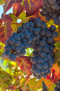 Amador County Grapes