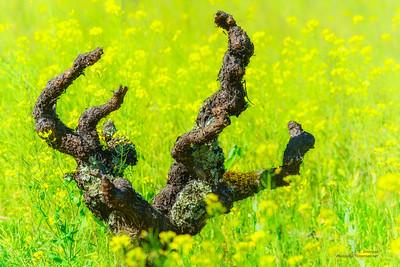 Spring Mustard in Napa