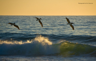 Pelicans Skimming a Wave at Los Cerritos