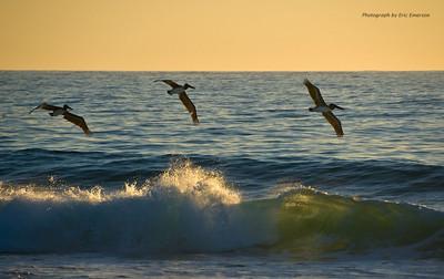 Pelicans Skimming a Wave at Los Cerritos