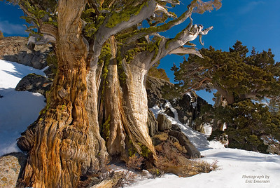 Gnarly Old Juniper at Carson Pass