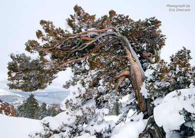 Juniper Overlooking Donner