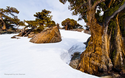 Junipers at Carson Pass