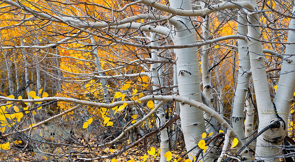 Fiery South Bishop Creek Aspen