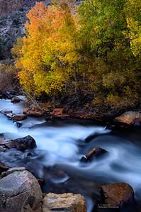 Bishop Creek Aspen in Early Morning