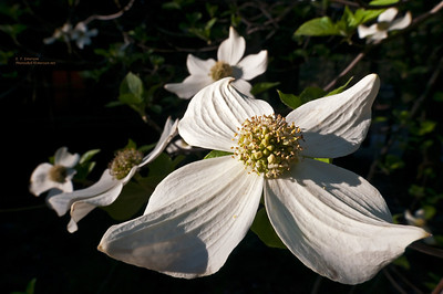Dogwood Bloom Close-up