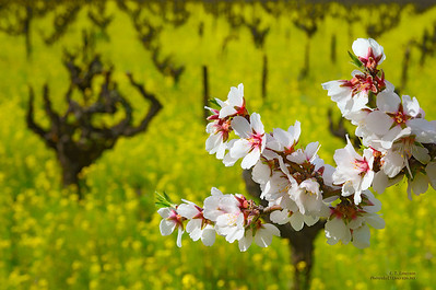 Almond Blooms and Mustard in Napa