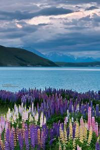 Lake Tekapo (NZ) Lupine at Sunset
