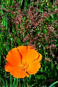 Garrapata SP Poppy