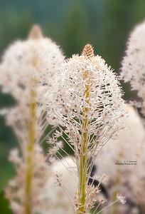 Mt. Rainier Bear Grass Blooms