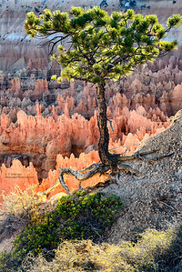 Pine Clinging to Edge at Bryce