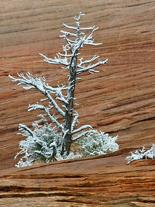 Snow Covered Snag in Zion's East Side