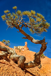 Old Pine at Bryce