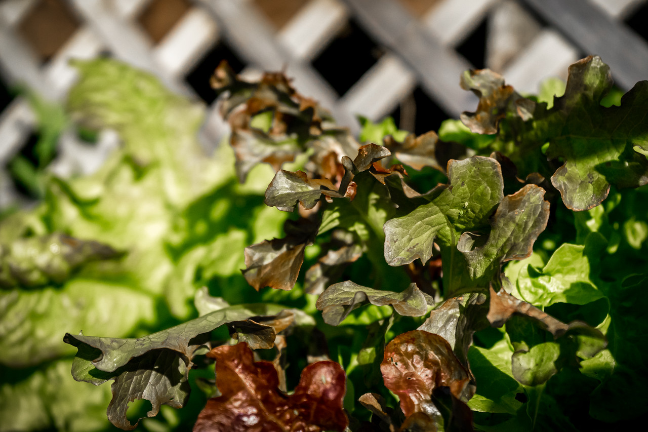 Bronze Arrowhead  and Oak Leaf Lettuce,  Salad ready to go from the Vegetable Garden