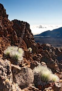 Silver Sword Ferns in Haleakala