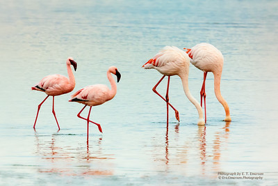 Walvis Bay Flamingoes