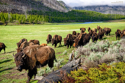 Bison Moving through a Meadow in West Yellowstone