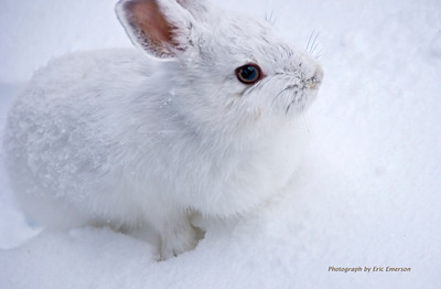Snowshoe Hare at Donner Pass