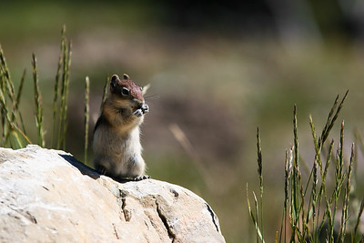chipmunk gettin some nuts