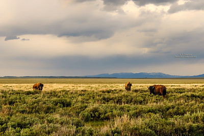 Bison on the Plains near the Tetons