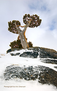 Donner Pass Juniper