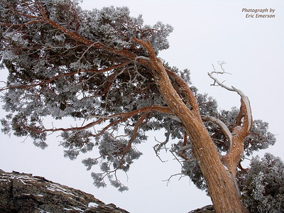 Snowy Juniper on Donner Summit