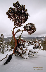 Juniper at Donner Pass